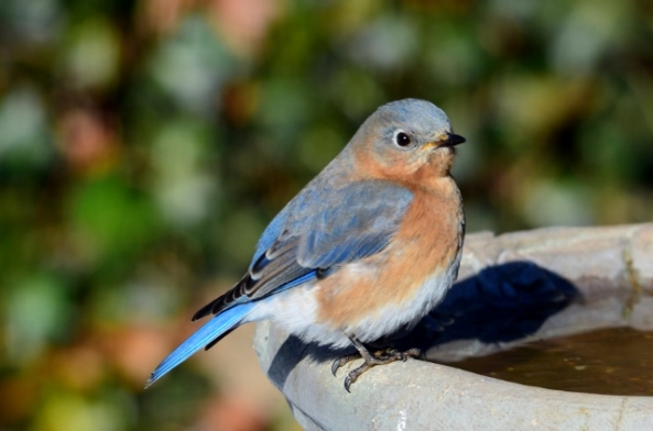 female bluebird (640x424)