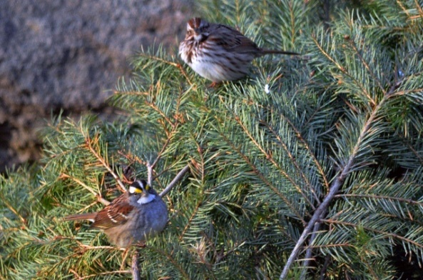 white throat song sparrow (640x424) ps