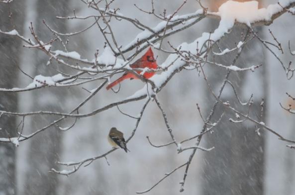 cardinal and gf 2 (640x424)