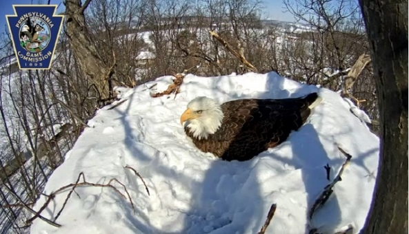eagle on nest (640x368)