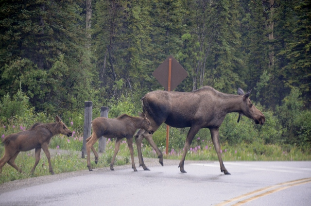 moose and calves (640x424)