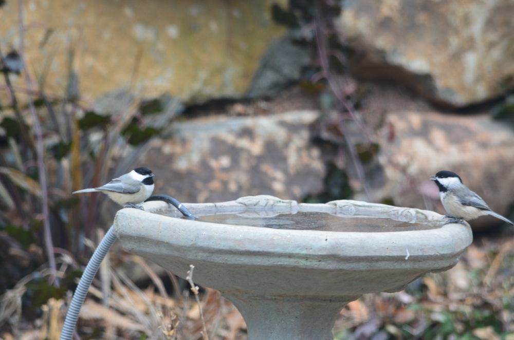 2 chickadees birdbath
