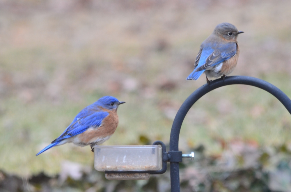 bluebirds cropped